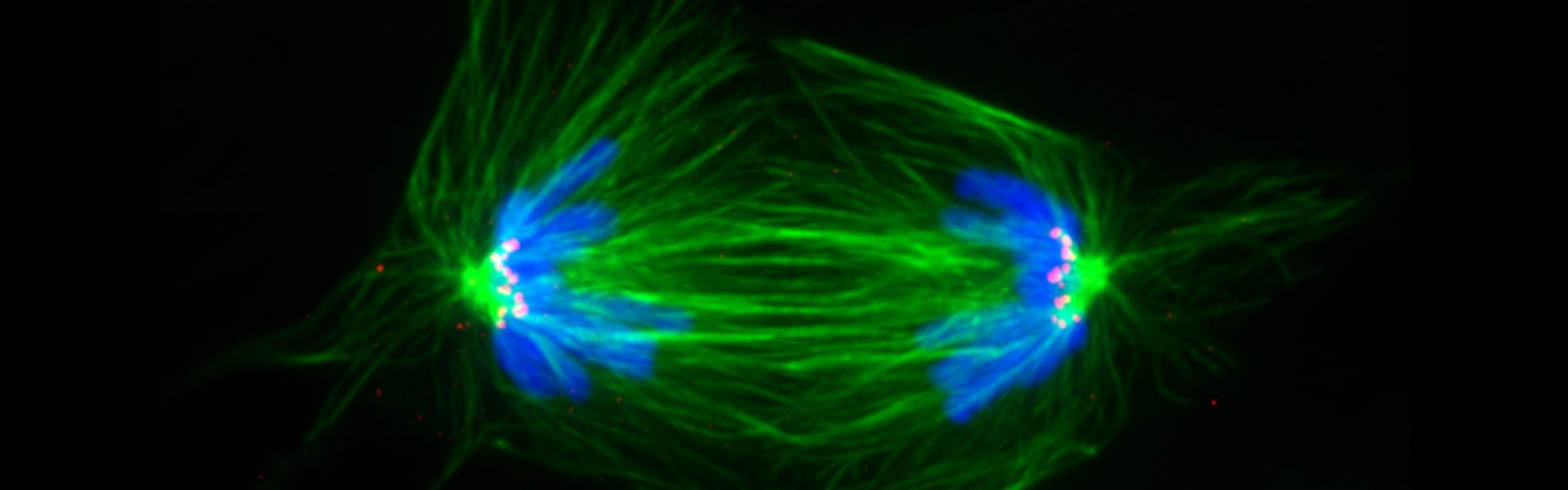 FRET image, cell in anaphase